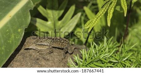 Brown Anole Lizards Mating - stock photo