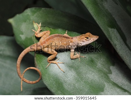Brown Anole With It's Tail Curled on a Bromeliad Leaf         - stock photo