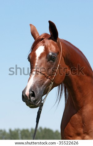 Brown arabian filly - stock photo