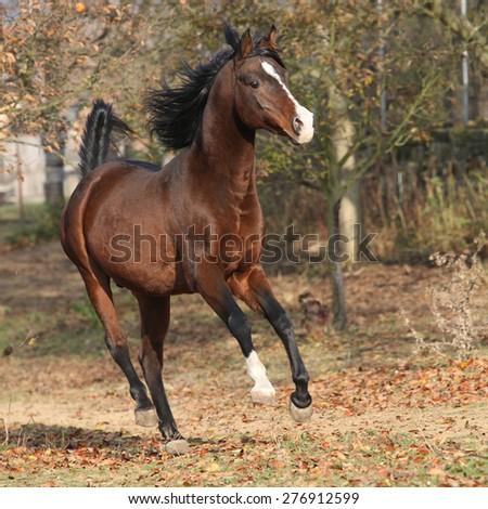 Brown arabian stallion running in paddock with trees - stock photo