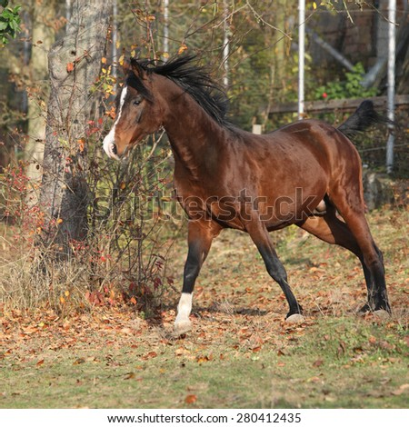 Brown arabian stallion running in paddock with trees - stock photo