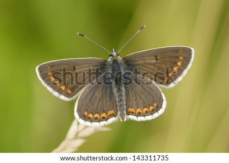 Brown Argus Butterfly (Aricia agestis) in Martin Down Nature Reserve, England - stock photo