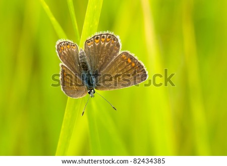 Brown Argus butterfly on a wild flowers