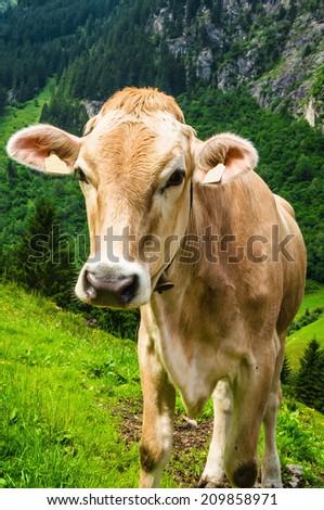 Brown Austrias cow on mountain pasture in Austria, Alps - stock photo