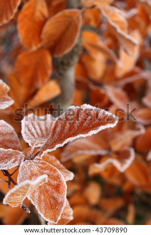 brown autumnal leafs with frost