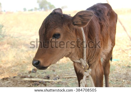 Brown baby cows, calf