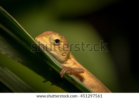 Brown baby native lizard or chameleon on the tree. - stock photo