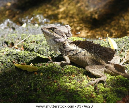 Brown Basilisk, Jesus Christ Lizard (Costa Rica) - stock photo