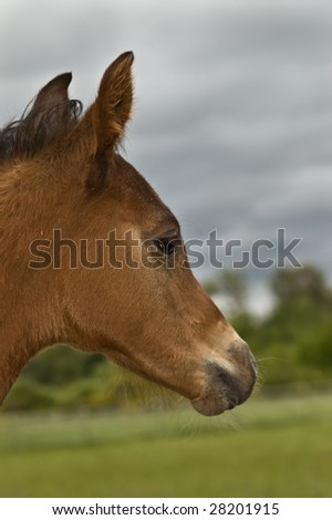 Brown bay foal in profile - stock photo