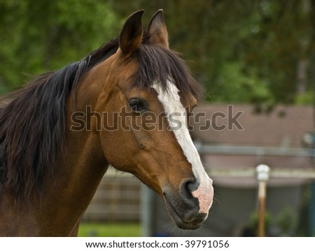 Brown Bay Quarter horse mare close up head shot - stock photo