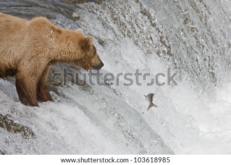 Brown Bear and her cub catching salmon in Katmai National Park, Alaska - stock photo