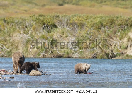 Brown bear and her cub searching for fish in the river