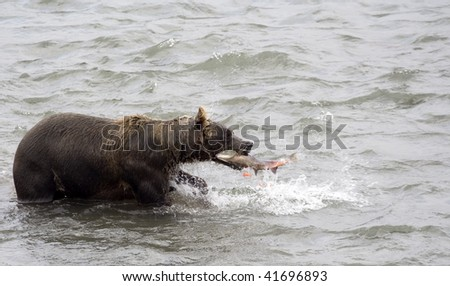 Brown bear and red fish