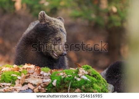 brown bear behind rock - stock photo