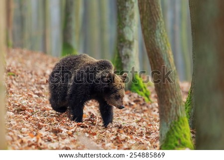 brown bear between trees - stock photo