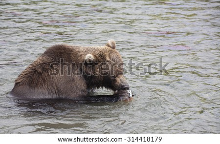 brown bear catch fish and eat it in the lake,  Russia, Kamchatka