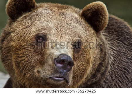 brown bear close up - stock photo