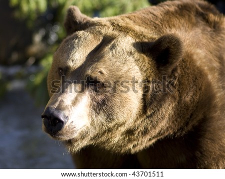 Brown bear close up portrait in the sun