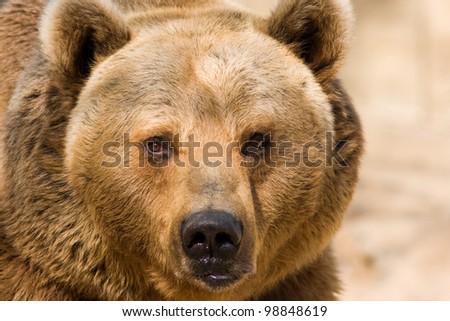Brown Bear closeup - stock photo