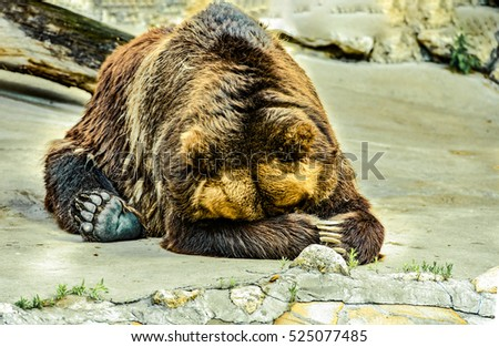 Brown bear covers head with paws