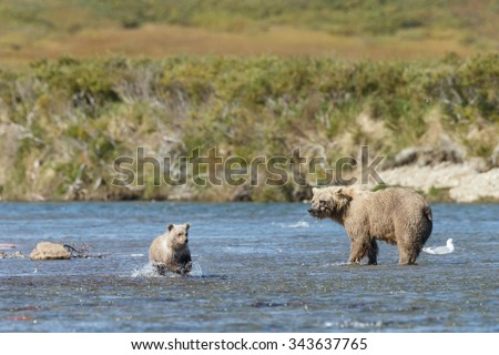 Brown bear cub at Katmai Alaska eating,chasing sockeye salmon