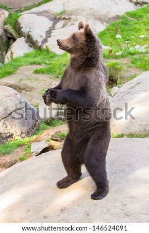 Brown bear cub standing on hinder legs - stock photo
