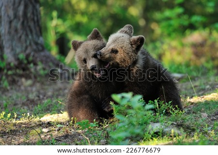 Brown bear cubs playing in the forest - stock photo