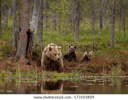 Brown bear cubs playing with a mom by the pond, Finland - stock photo