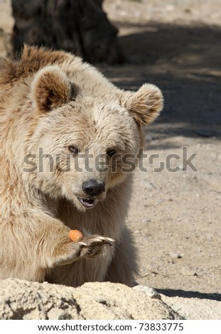 Brown Bear eating a carrot