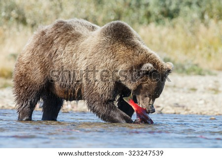 Brown bear eating a red salmon