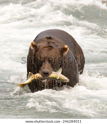 Brown bear emerging from the river with a salmon - stock photo