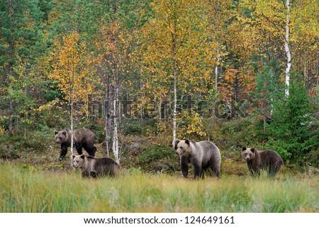 Brown bear family in autumn - stock photo