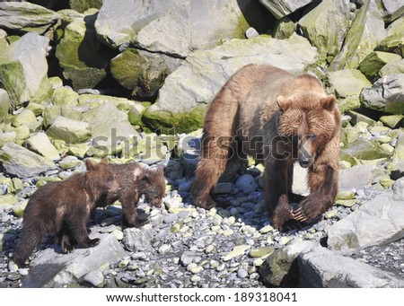 brown bear family on walk - stock photo