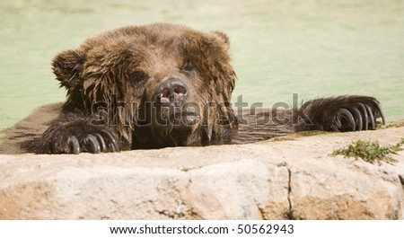 Brown bear having a relaxing swim - stock photo