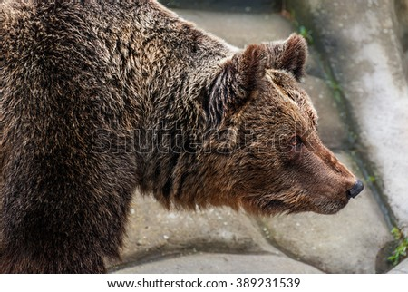 Brown bear head close-up in a zoo - stock photo