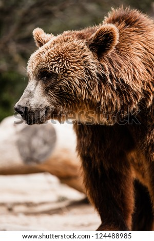 Brown bear in a funny pose ( HDR image )