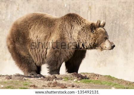Brown Bear in autumn - stock photo