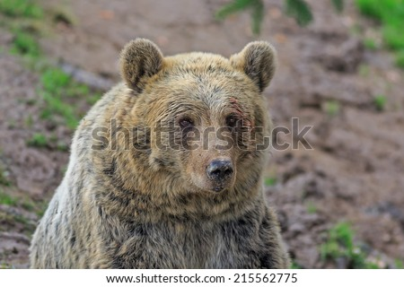 brown bear in detail - stock photo