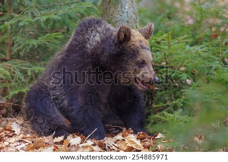 brown bear in green small trees - stock photo