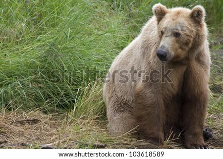 Brown Bear in Katmai National Park in Alaska. - stock photo