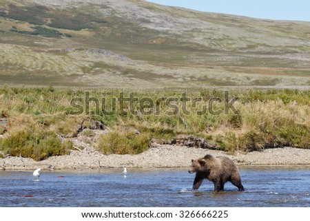 Brown bear in nature landscape at Katmai Alaska