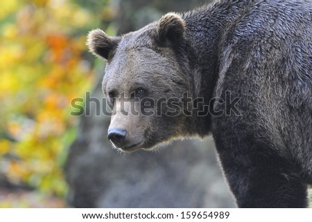 Brown Bear in the autumn - stock photo