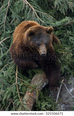 Brown bear in the bear pit at Bern, Switzerland - stock photo