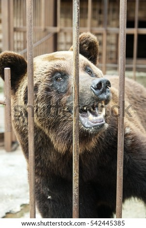 Brown bear in the metal cage.