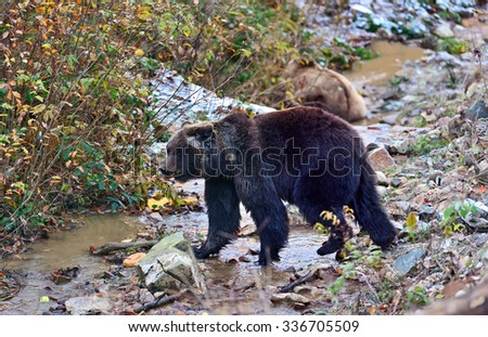 Brown Bear in the mountains of the Carpathians. Ukraine