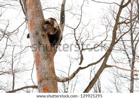 Brown bear in the tree looking down in the forest - stock photo