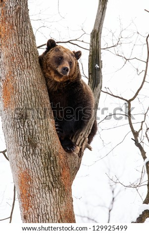 Brown bear in the tree looking on the skyline in the forest - stock photo