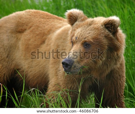 Brown bear in the wild - stock photo