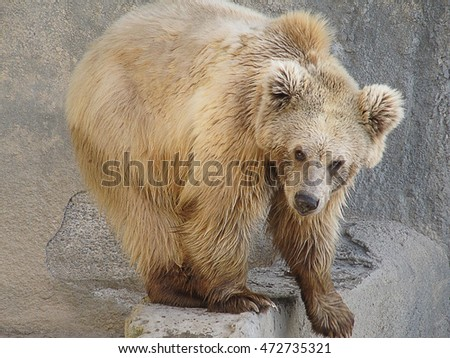 Brown bear in the zoo of the city of Tashkent