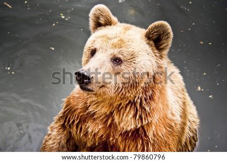 Brown bear in water  - stock photo